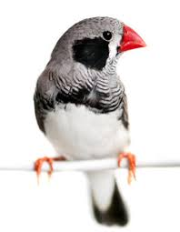 Image result for zebra finch