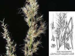 Silber-Raugras – Wikipedia