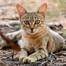 African Wild Cat - very interesting, this history. Plus <b>lots of cool cat</b> ...
