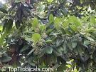 pimento tree