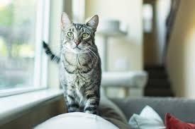 Understanding How <b>Cats</b> Speak Through <b>Ear</b> Movements