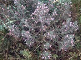 Echium asperrimum - Wikispecies