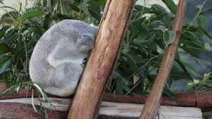 koalas bear record number of joeys bega district news content storm one of oakvale farm and fauna world s male koalas