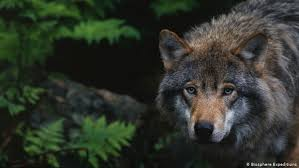 Germany relaxes law on <b>shooting</b> wolves | News | DW | 20.12.2019