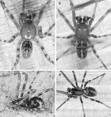 Ultrastructure of the Spermatozoa in the Spider Genus Pimoa: New ...