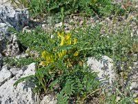 Astragalus huetii