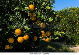 Image result for picture of mixon's Fruit Farm Orange Grove
