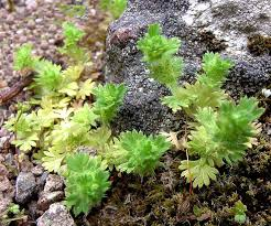 Aphanes minutiflora
