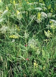 Falcaria vulgaris - Wikipedia