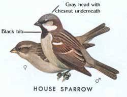 Sialis: Euthanizing House <b>Sparrows</b> humanely