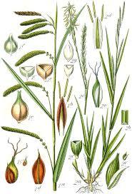 File:Carex spp Sturm46.jpg - Wikimedia Commons