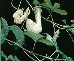 Aristolochiaceae | Characteristics, Genera, & Species | Britannica.com
