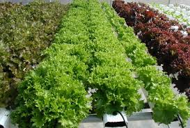 Image result for how to grow hydroponic plants at home