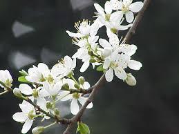 Prunus cerasifera - Wikipedia