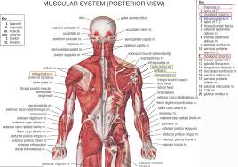 bones and muscles body chart diagram of human forearm bones        bones and muscles body chart tag diagram of body muscles and bones human anatomy diagram