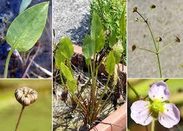 Alisma lanceolatum With. - Portale sulla flora del basso corso del ...