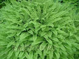 Image result for native ferns
