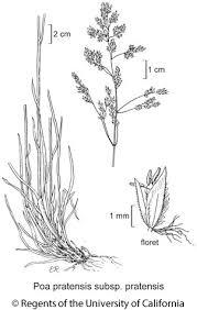 Poa pratensis subsp. pratensis