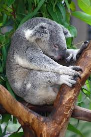the koala writework koala sleeping on a tree top