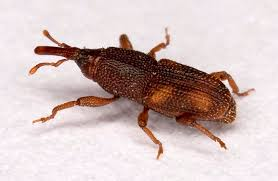 Image result for weevils