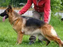 Собаки и щенки породы <b>Немецкая</b> овчарка - купить из ...