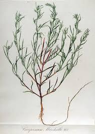 File:Corispermum marschallii — Flora Batava — Volume v12.jpg ...