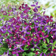 <b>Sweet Summer</b> Love Clematis   Spring Meadow - wholesale liners ...