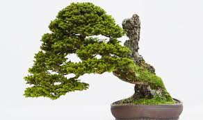 a bonsai tree bought bonsai tree