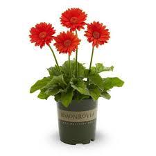 Monrovia 2.5-Quart <b>Orange Gerbera</b> Daisy in Pot (L25056) in the ...