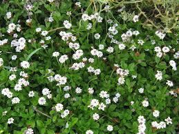 Phyla canescens (Kunth) Greene - Portale della Flora di Roma