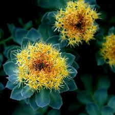 Image result for rhodiola