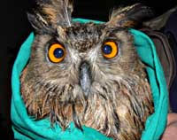 <b>Cute Owl</b> from Viganj - Korculainfo.com
