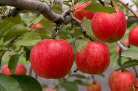 Image result for apples