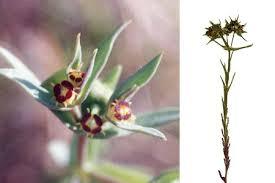 Euphorbia sulcata