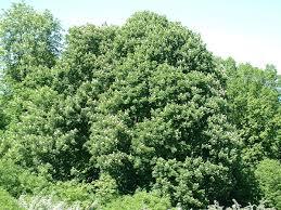 Hippocastanaceae – Wikipédia, a enciclopédia livre