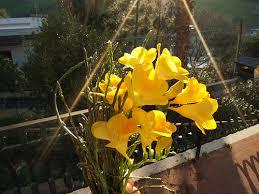fresie del mio giardino