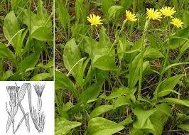 Scorzonera humilis L. - Portale alla flora del Parco Nazionale ...