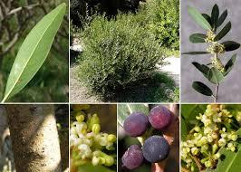 Phillyrea angustifolia L. - Guida alla flora degli stagni temporanei ...