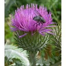 Genere Onopordum - Flora Italiana