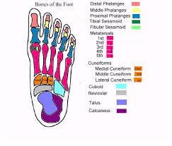 foot anatomy diagram related keywords  amp  suggestions   foot anatomy    foot anatomy diagram related keywords  amp  suggestions   foot anatomy diagram long tail keywords