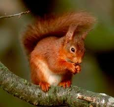 Image result for red squirrel images