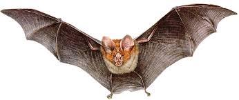 Resultado de imagem para fotos de morcegos