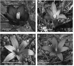 The genus Romulea in Italy: taxonomy, ecology and intraspecific ...