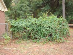 Image result for wild vine