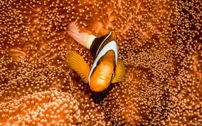 coral sea colours photo essay great barrier reef anemone fish