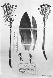 Ricerche Cito-Sistematiche su Scilla Hughii Tin. (Liliaceae)