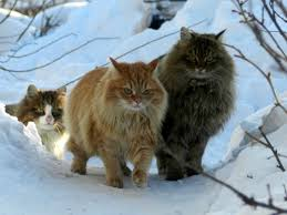 it is the heart that sees pagew norwegian forest cats