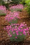 Images & Illustrations of cheddar pink