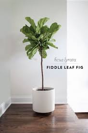 room plants x: fiddle leaf fig im going to place one in the living room area