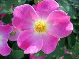 Image result for nearly wild rose